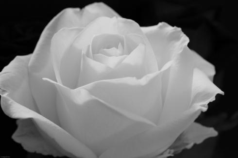 http://1.bp.blogspot.com/-vH2qso_BI3c/UMM_dHYem3I/AAAAAAAAALE/wY-p2ZEjXPM/s1600/weisse_rose.jpg